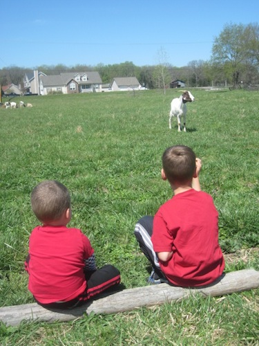 cole and lincoln watching goats