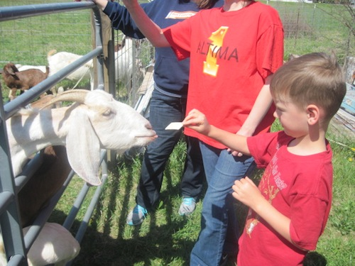 cole feeding goat