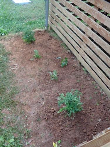 tomato plants in garden 2