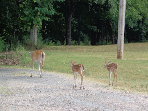 gastons deer