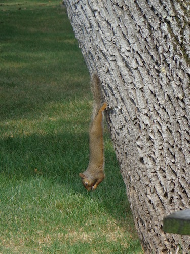 gastons squirrel