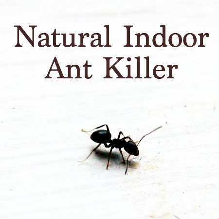 Natural Indoor Ant Killer Featured