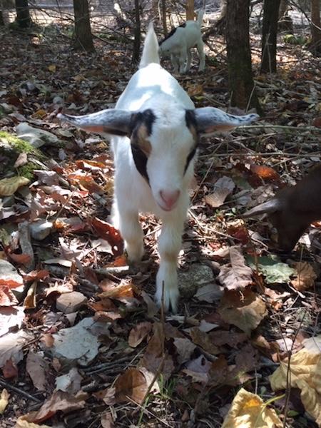 white baby goat