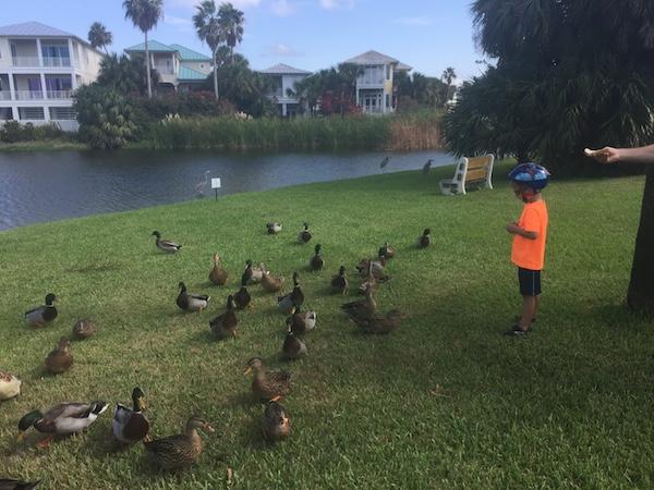 feeding ducks at duck pond